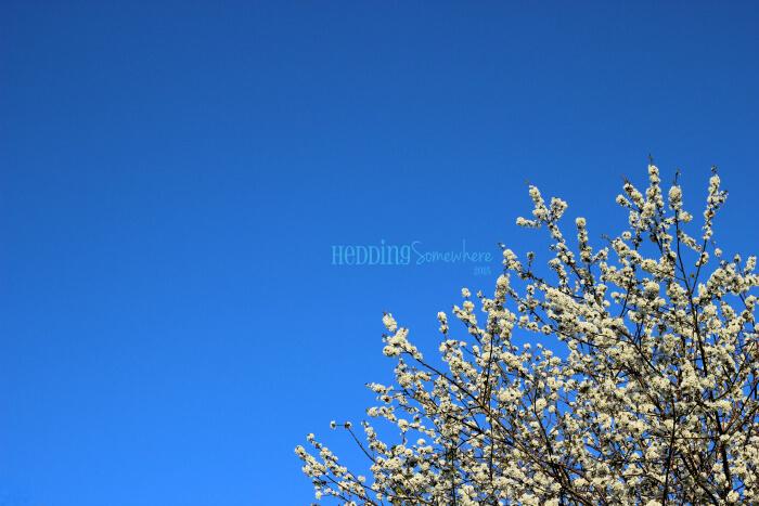 104 wild cherry tree