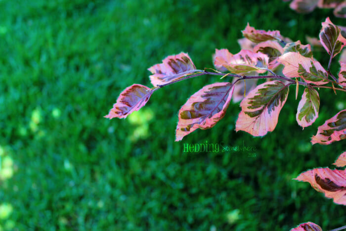 126 tri coloured beech